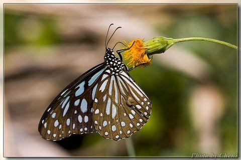 [原创]长途旅者-斑蝶 - Cheni - Cheni的蝴蝶馆