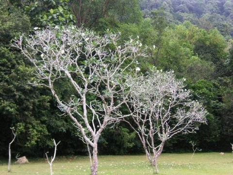 槟城玉兰 - 木头人 - sampson827的博客