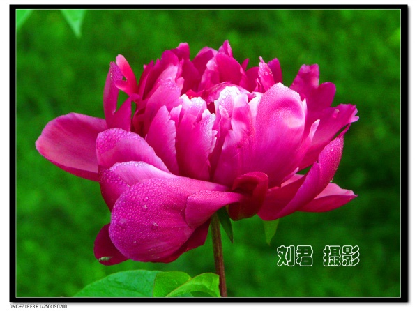 [原创摄影] 芍药 (2) - 刘君 - 刘君 原创摄影之窗