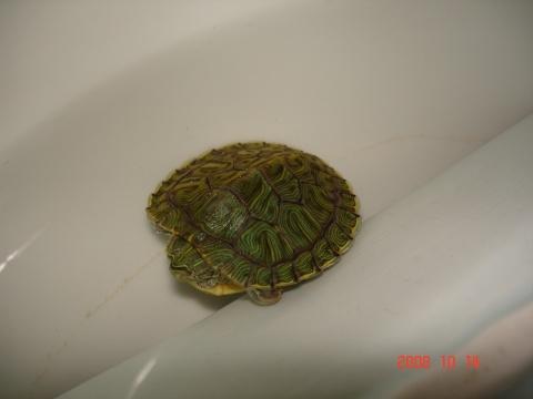 小乌龟要冬眠了吗