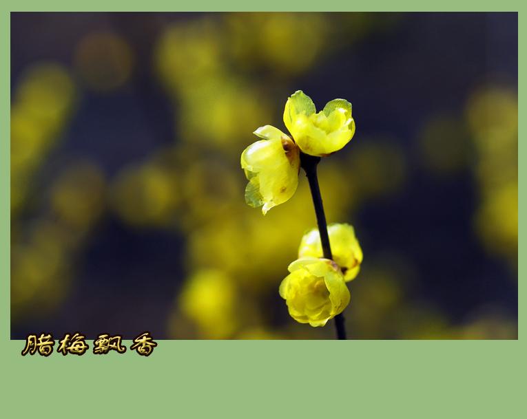 (原摄)又闻腊梅飘幽香(一) - 高山长风 - 亚夫旅游摄影博客