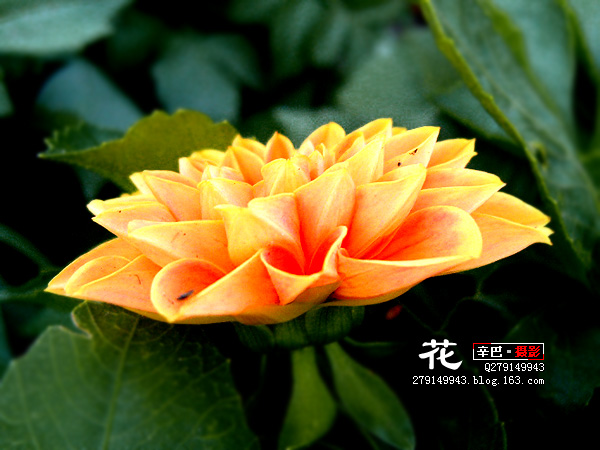 〖摄影〗一些花(25P) - 辛巴 - 【辛巴·色计】