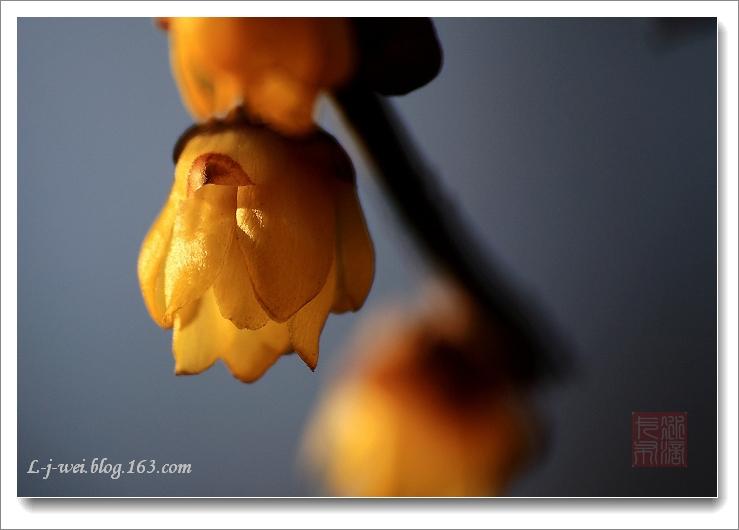 腊梅迎春(原创摄影) - 冰滴卡布 - l-j-wei的个人主页