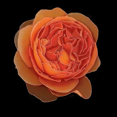 玫瑰 - 蓝的旋律 - LDXL