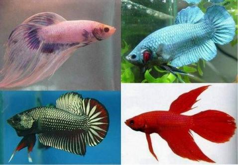 引用 好美的鱼啊,比金鱼更美(转载) - 绿叶 - 绿叶的博客