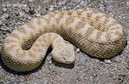 纳米比亚沙漠测行蛇