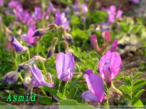 大花野豌豆
