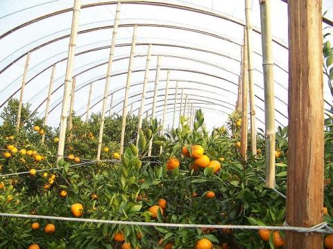 大棚柑橘完成第4次品质取样检测 - 清扬 - 花果飘香