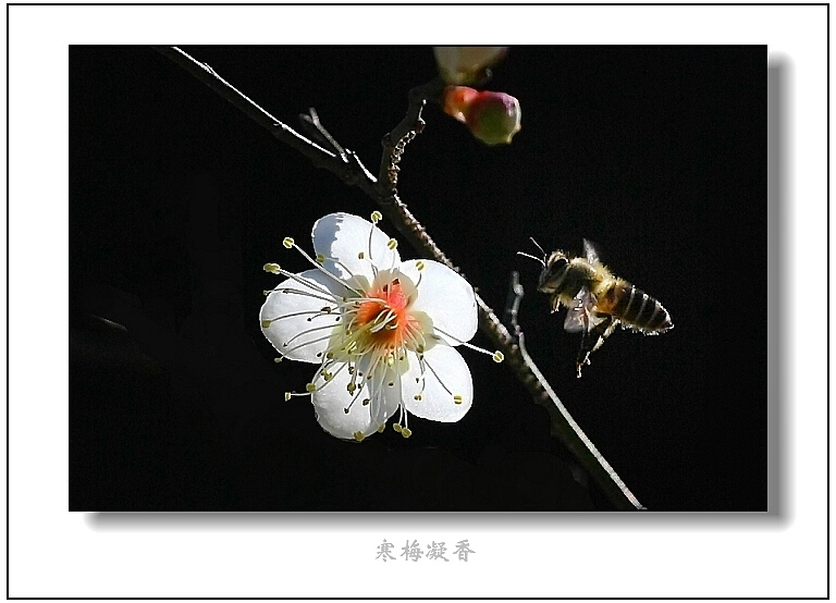 【原创摄影】寒梅凝香 - 王工 - 王工的摄影博客