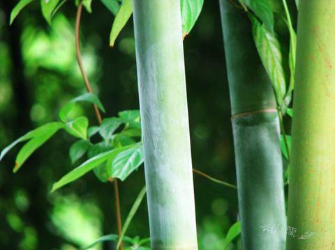 江城子(竹——步韵和帝兄) - 紫冰兰 - 莲心苑.紫冰兰