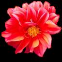 PNG格式的小花 - 玫瑰夫人 -