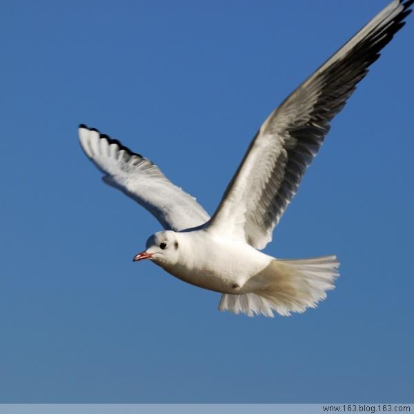 [原创]鸟影09海鸥——心在飞 - 迁徙的鸟 - 迁徙鸟儿的湿地