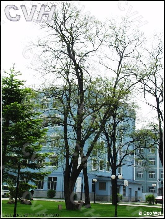 重庆常用园林植物--落叶大乔木图片