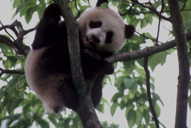 """少年熊猫初入江湖 谁是它第一次""""单挑""""对象? - 行者 - 《行者》旅游卫视"""
