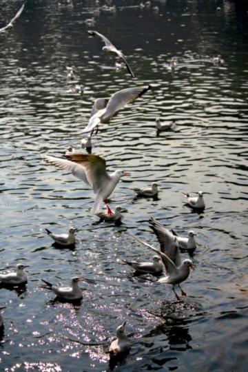 昆 明 红 嘴 鸥 - 艾学蛟 - 艾学蛟 的博客
