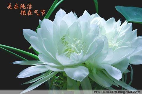 咏栀子花(七绝) - 赶海者 - 我的博客