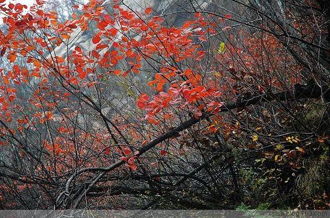 秦岭满山红叶时 - 枫叶 - 枫叶的博客