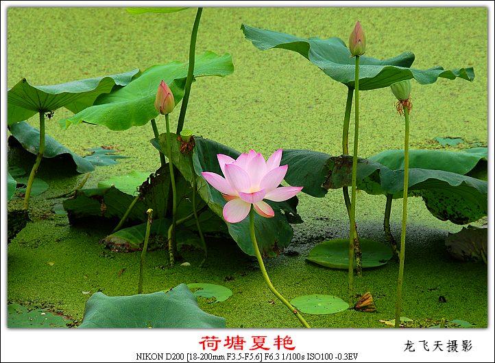 (原创摄影)荷塘夏艳之三 - 龙飞天的日志 - 网易博客