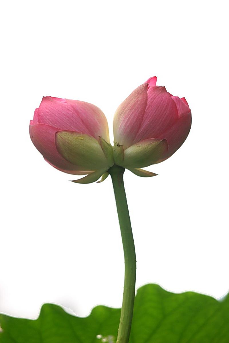 蓝莲花2 古埃及人很早就把蓝莲花作为生命的象征,永不凋谢的蓝莲花,如同生命,生生不息。而在佛教中又有这么一个传说,一个古老的佛教传说:很久以前,尼泊尔的加德满是一片汪洋,在明镜般的湖面上,漂浮着一朵洁白晶莹的莲花,它泛着神奇的蓝光,文殊菩萨历尽千辛万苦寻到此地看到了那朵象征着智慧,永恒和圣洁的蓝莲花,他指着莲花说:这是佛祖的化身,我要让它开放在所有人的心田。言毕便用一把智慧之剑,劈开了南边的山,莲花顺水而下。水流完了,现出一片宁静的河谷  生辰花传说(5/21-6/21)3 六月的荷花神是中国古代有名的美