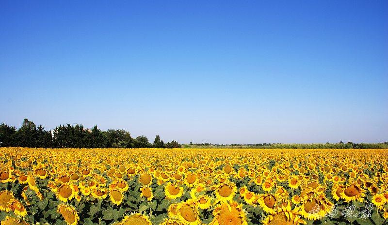 普罗旺斯的向日葵 - 西樱 - 走马观景
