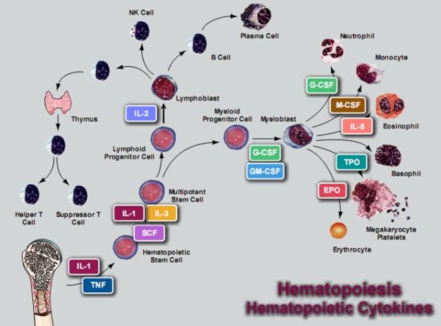 骨髓造血过程模式图