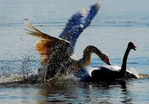 [原创摄影]天鹅之战 - 无忌色影 - 行行摄摄