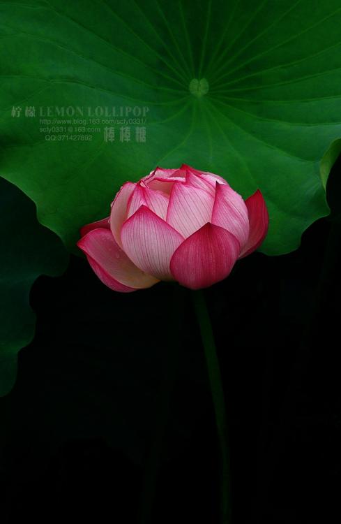 【原创】_荷塘清韵 - 柠檬棒棒糖 - 筱晴雅舍
