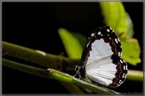 [原创]石门赏蝶之-白衣天使 - Cheni - Cheni的蝴蝶馆