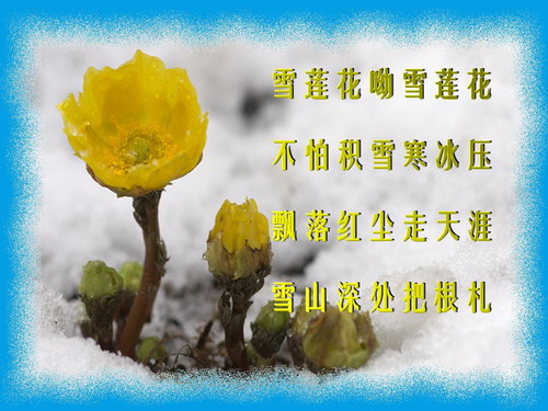 引用 咏雪莲花 - 绿韵 - 绿韵的博客