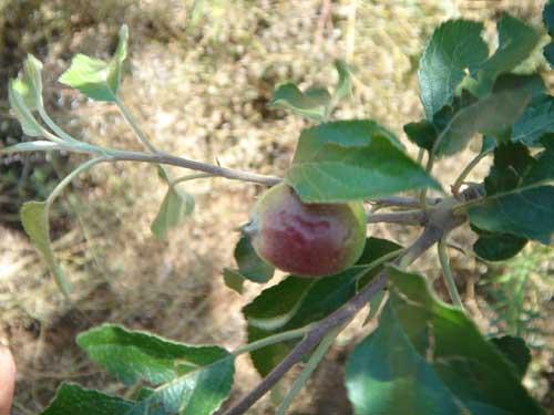 红苹果对树叶的思念 - 坏老头 - hlt50的博客