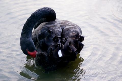 黑天鹅 - 卓尔 - 梦蝶