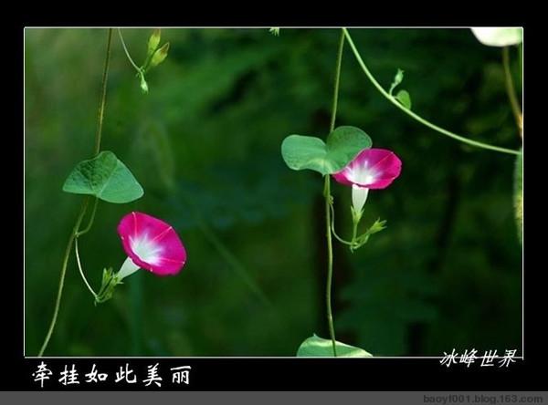 """【墨联原创】为""""喇叭花""""所发诗句和图片编联 - 墨联 - 墨海对联书屋"""