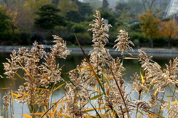 (原创摄影)秋天的芦苇 - 刘炜大老虎 - liuwei77997的博客