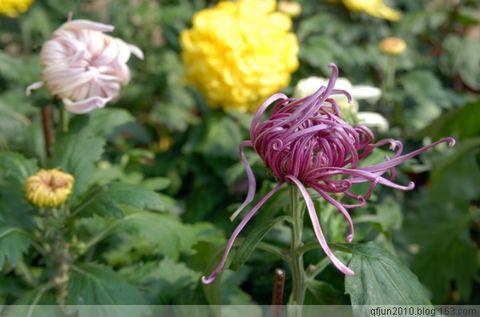 邀君共赏菊(二) - qfjun2010 - QFJ的图话