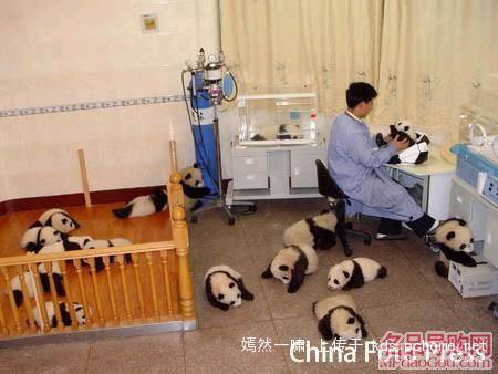 地震后的小熊猫们...  - 喻俊平 - 喻俊平的博客