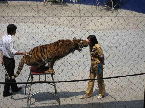 老虎狮子表演,钻火圈,口中夺食