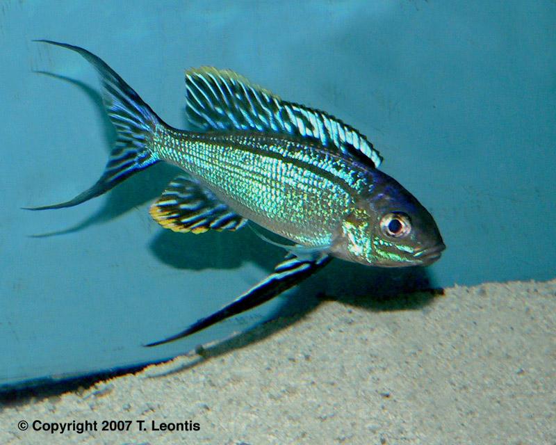 蓝波类(Cyathopharynx ) - x-999 - 牧 鱼 水 族