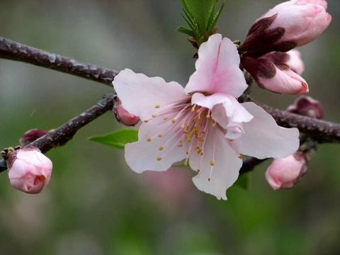 大棚油桃人工授粉试验开始实施 - 清扬 - 花果飘香