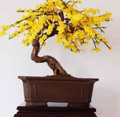 迎春盆景制作,初春观赏花卉之佳品 - 社会风向标、博文精品 - 社会风向标、心灵驿站