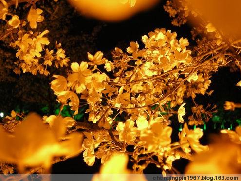 两天两逛樱花园,夜色掩映看樱花 - 陈清贫 - 魔幻星空的个人主页