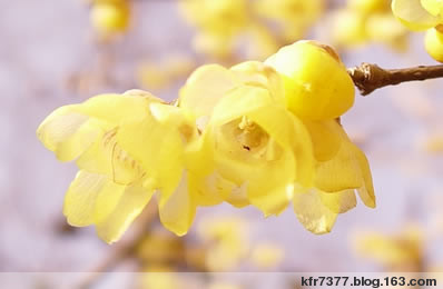 假如你想做一株腊梅 - 蕊 - 蕊-花之方寸 花之精灵