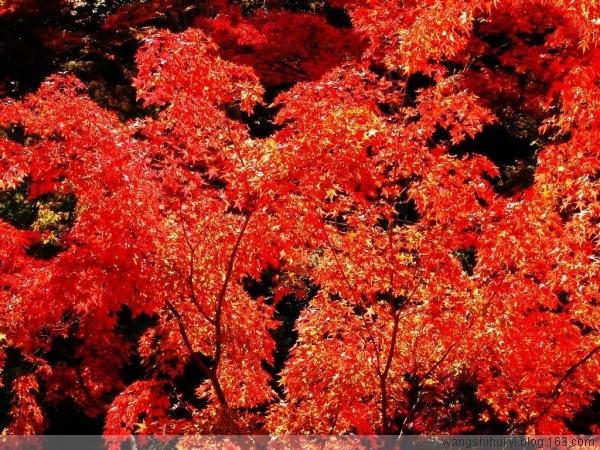 【原创】 《红叶集》(一) - 信天翁 - 信天翁    南极仙翁    老顽童