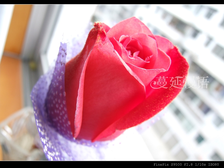摄影练习—情人节玫瑰 - 蔓延 - 蔓延慢语