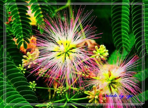 花草世界03合欢花[原创] - 自由诗 - 人文历史自然 诗词曲赋杂谈