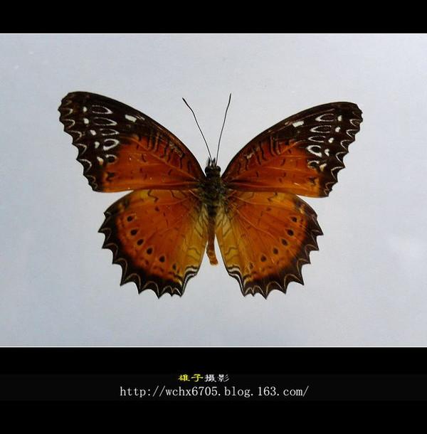 【原创摄影】千姿百态的蝴蝶 - 雄子 - 雄子言语
