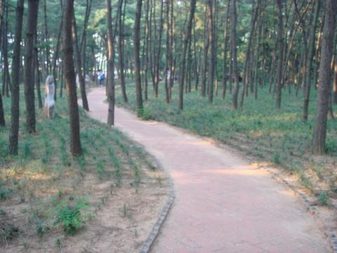 茂密的松树林.这个也叫小树林—山大特色