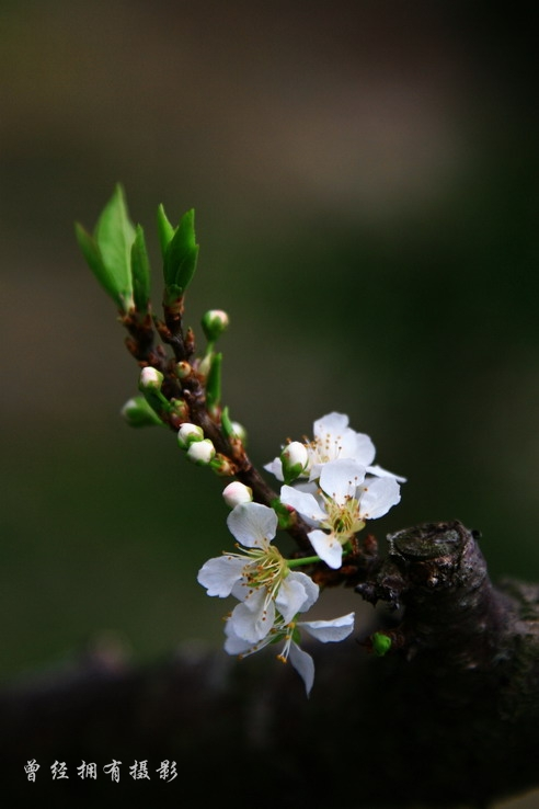 【原创摄影】溪头李花香(二) - 曾经拥有 - 我的摄影花园