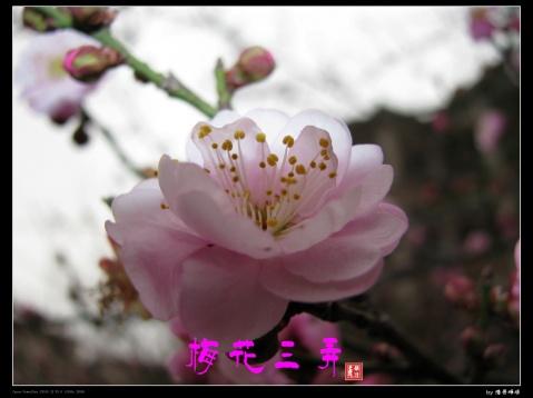 梅花三弄(原创) - 浩骨峥嵘 - 德泽的祝福