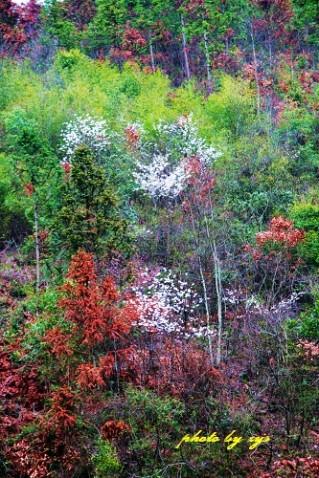 [原创]神州山水(06)黄山奇彩《》 - 自由诗 - 人文历史自然 诗词曲赋杂谈
