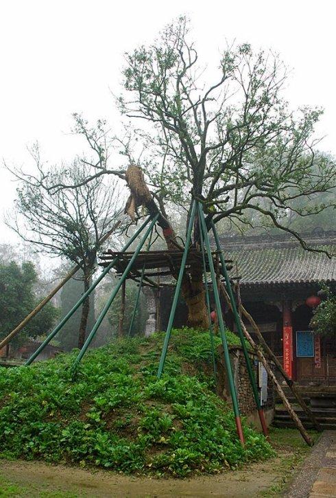 中国十大名树